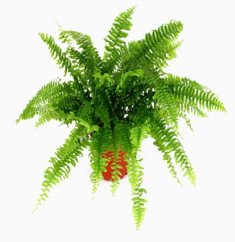BOSTON_FERN.jpg