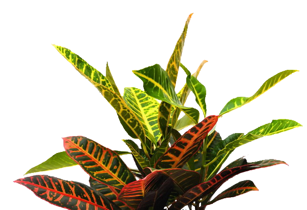 CROTON-_IN_POT_.png