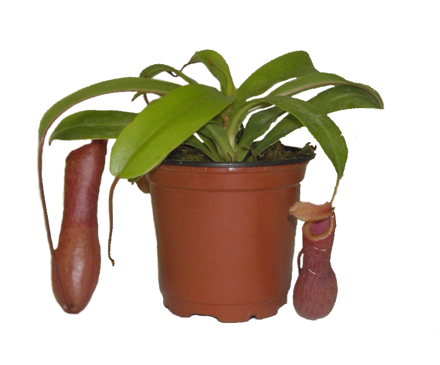 Nepenthes.png
