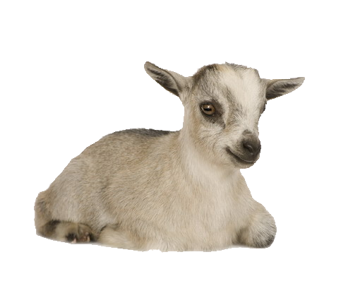 PYGMY_BABY_GOAT_LAYING_DOWN.png