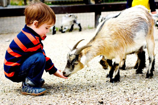 child_feeding_goat31699696%5B1%5D.jpg